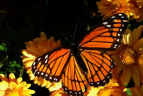 Earth Day 2016 – The Monarch Butterfly Habitat Exchange (Donations and How You Can Help)